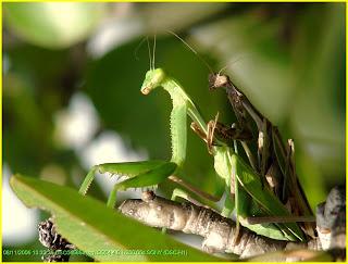 Insectos, apareamiento