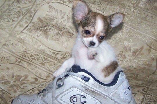 Chihuahua Breeder Chihuahua Puppies Chihuahua Dog Breeders | Dog ...
