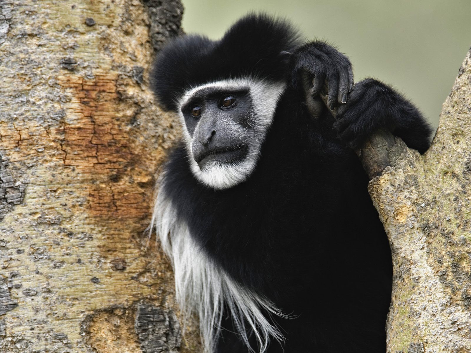 abyssinian black and white colobus monkey lake nakuru national park kenya