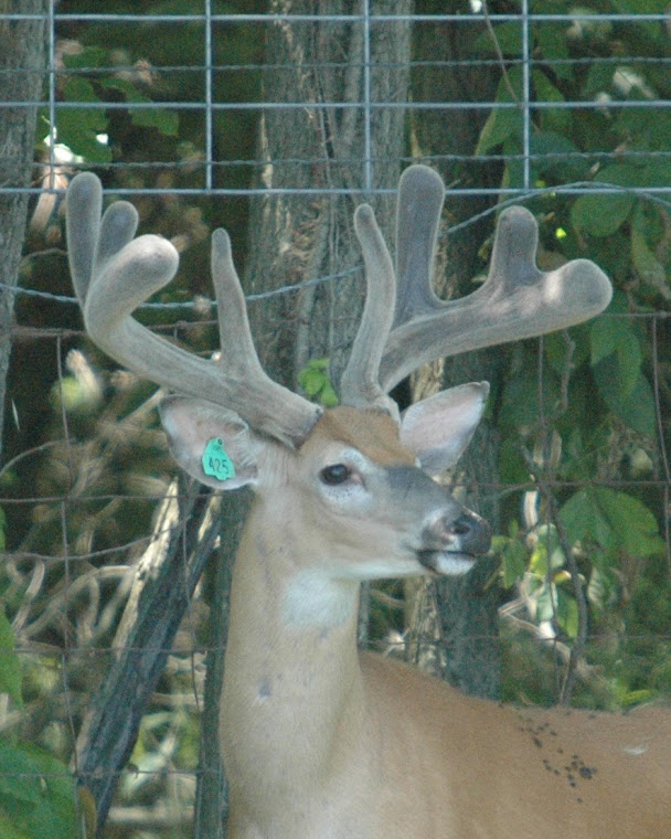 2008 Whitetail Herdsire