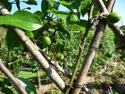 Le blog du jardinier du prieur d 39 orsan la taille en vert des pruniers - Taille des pruniers mirabelles ...