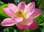 floare de lotus