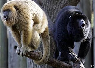 monyet, baboon, howler monkey
