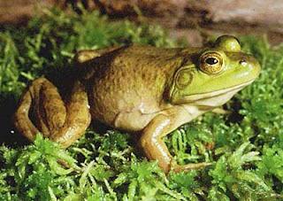 katak, katak besar, katak ganas, suara indah