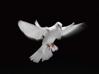 merpati putih, hewan pengantar pesan
