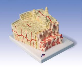 struktur tulang, bahan pembuat tulang, komposisi tulang manusia