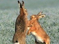 [hare]