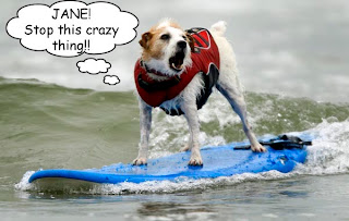 Buddy, a surfing Jack Russell Terrier