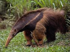 El Oso Hormiguero Gigante, especie en peligro de extinción