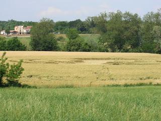Chiarino:grano colcato
