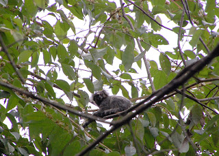 A marmoset up in a tree during our hike on Ilha Grande.