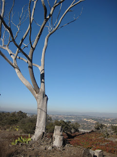 Cool tree at the top of Torrey Pines that overlooks Sorrento Valley.