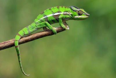 ������ �������� ������ �������� ������� Chameleon-www.faedh.