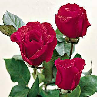 Gul sekilleri-flower pictures