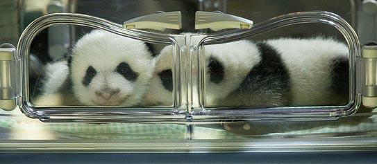 panda gigante 2 meses