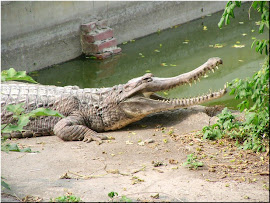 馬來西亞鱷