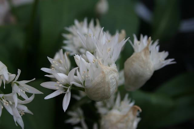 growing wild garlic
