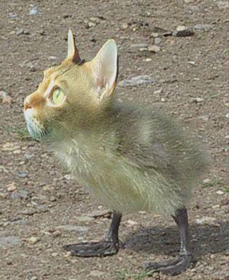kucing aneh, kucing terunik, persilangan kucing, perkawinan kucing