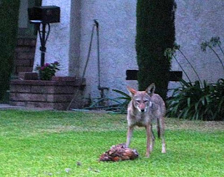 Coyote killing chickens in California