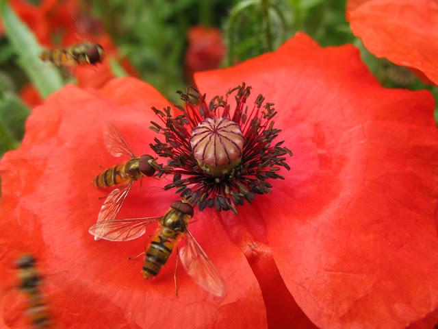 Hoverflies on red poppy flower.