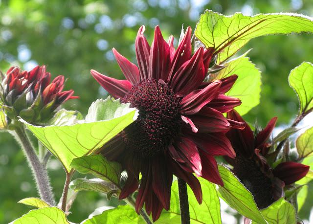'Black Magic' sunflower.