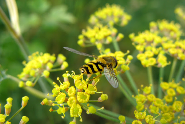 Close-up of hoverfly on fennel flowers.