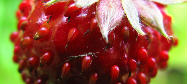 Wild strawberry fruit.