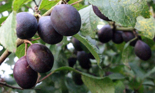 Purple damsons on a branch.