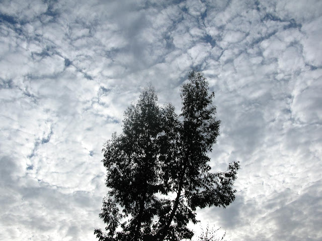 Eucalyptus tree silhouetted against cloud-spattered sky.