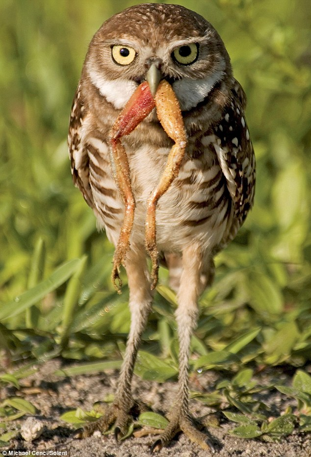 Nature Canada  Burrowing Owl