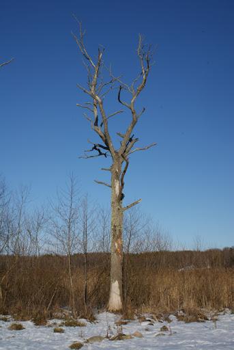 träd, vinter