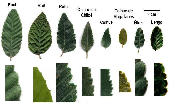 Nombres de hojas de arboles - Imagui