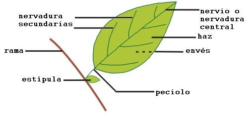 Clasificacion de hojas por su forma : El Mundo y sus Plantas
