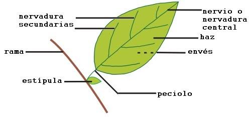 Clasificacion de hojas por su forma el mundo y sus plantas for Un arbol con todas sus partes