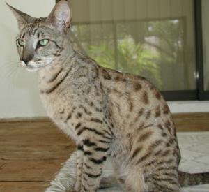 13e317103f0d6 Esta raça exótica também conhecida como Jungle Curl, Puma Pedra, Montanha  Cougar é um híbrido do gato doméstico (Felis silvestris catus) e ...