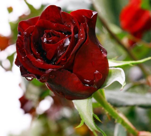 rosas no jardim poema : rosas no jardim poema:DIVAGAR SOBRE TUDO UM POUCO: Poema da Rosa