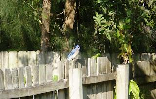 ブルージェイと言う名前の小鳥です(はとぐらいの大きさの小鳥です)