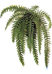 Cuidado de las plantas for Plantas ornamentales helechos