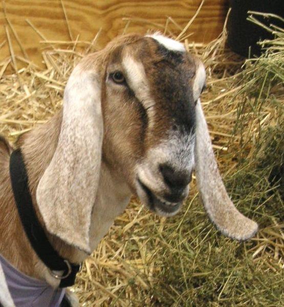 Nubian goats milk