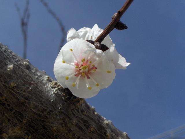 [Flor+de+albaricoque.JPG]