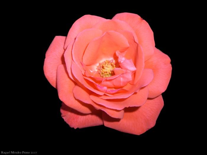 [Una+rosa.jpg]