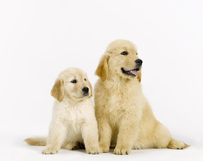 cute golden retriever puppies pictures. Golden Puppy-A-Day #1