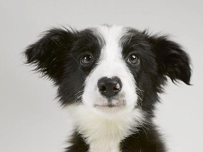 border collie puppies. Border Collie Puppy