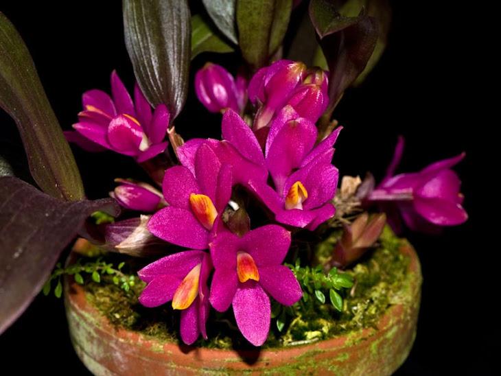Dendrobium laevifolium