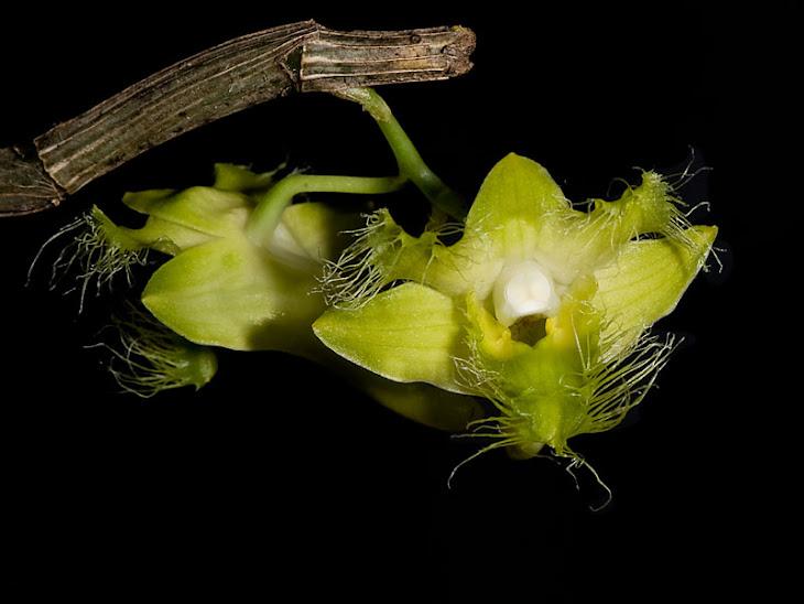 Dendrobium terengganuensis