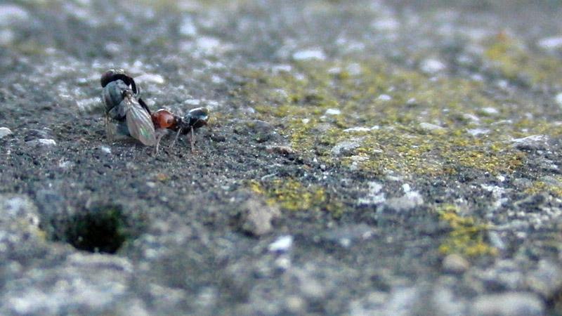 formica testa rossa, mosca