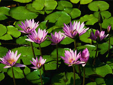Nice water lily