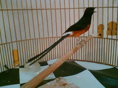 burung murai batu jantan