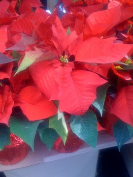 Greener Designs How To Take Care Of Your Poinsettia Plant