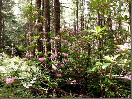 manning park Rhododendron forest beautiful British Columbia